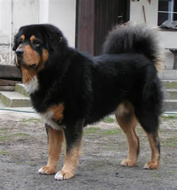 Tibetan Mastiff Rustum of Marzec