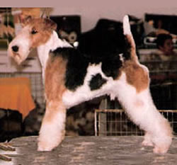 6 years old Wire Fox Terrier