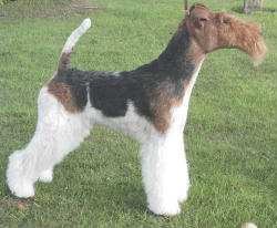 Wire Fox Terrier from England