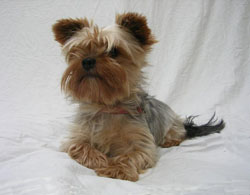 Swedish Yorkshire Terrier