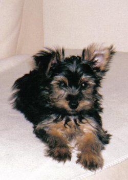 Minature Yorkshire Terrier Dog