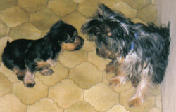 Adult and puppy Yorkies