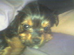 Yorkshire Terrier Puppy Riley