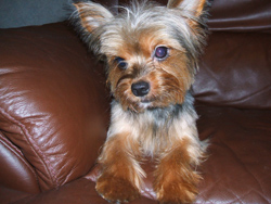 Traditional looking Yorkshire Terrier Riley