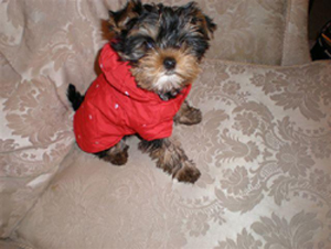 Yorkshire Terrier in red coat