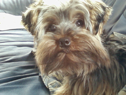 Baby Doll Yorkshire Terrier Ruby
