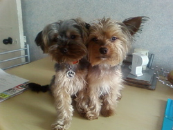 Yorkies Ruby and Riley