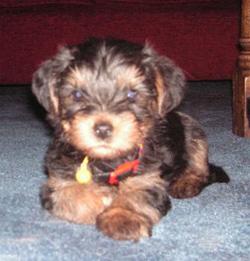 Standard Yorkshire Terrier 14 weeks