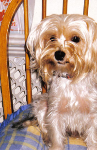 White Yorkshire Terrier